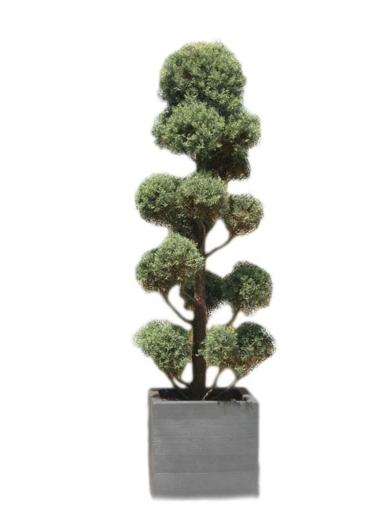 Noleggio Cupressus macrocarpa - oltreilgiardino
