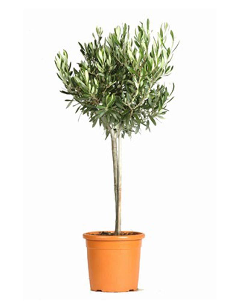 Noleggio ulivo nazionale oltreilgiardino for Acquisto piante ulivo