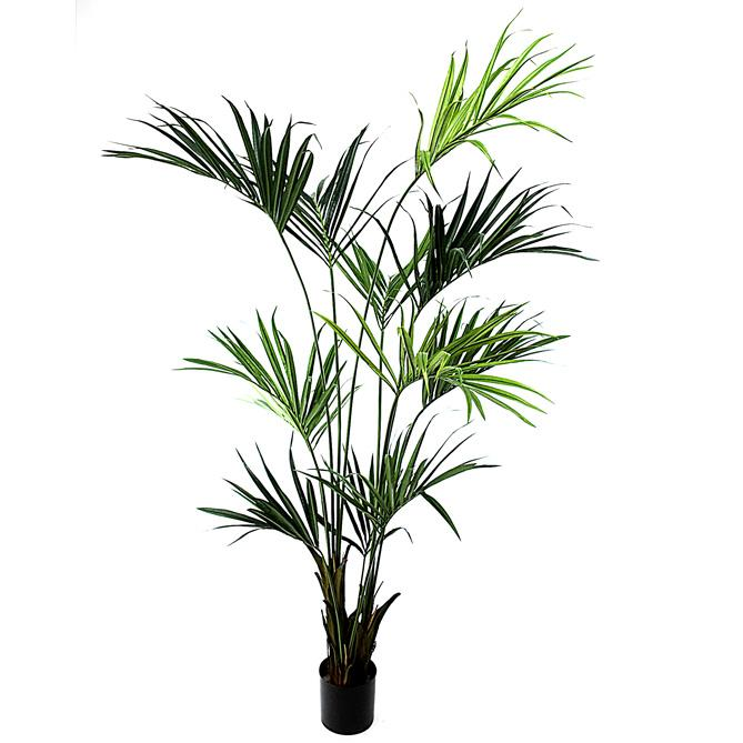 Noleggio kenzia oltreilgiardino for Kentia pianta